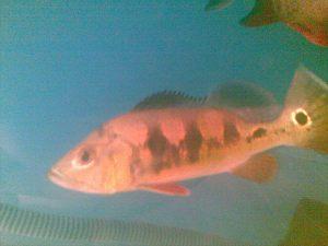 P.Bass (C. Occelaris)